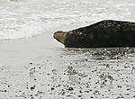 Sanderlings and Grey Seal on island Helgoland, Calidris alb, Halichoerus grypus