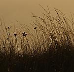 Gras im abendlichen Gegenlicht