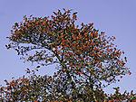 Mehlberen, Sorbus sp.