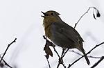Rotkehlchen singt, Erithacus rubecula