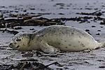 Harbour Seal on beach of island Helgoland, Phoca vitulina