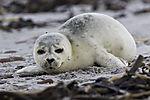 Seehund am Strand von Helgoland, Phoca vitulina