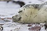 schlafender Seehund am Strand von Helgoland, Phoca vitulina