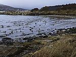 bay with Mallards, Anas platyrhynchos