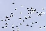 swarm of Waxwings, Bombycilla garrulus