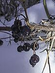 Schwarze Johannisbeeren im Schnee, Ribes sp.