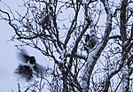 Magpies in territorial fight in winter, Pica pica