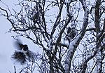 Elstern im Revierkampf im Winter, Pica pica