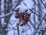 Vogelbeeren im Schnee, Sorbus aucuparia