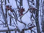 Rowan berries in snow, Sorbus aucuparia