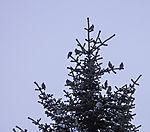Waxwings in conifer, Bombycilla garrulus