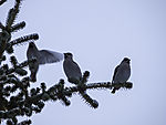 Seidenschwänze im Nadelbaum, Bombycilla garrulus