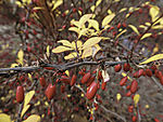 Berberitze im Herbst, Berberis sp.,