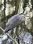 Grey Heron, Ardea cinera
