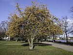 wilder Apfelbaum im Spätherbst