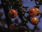 wilde rote Äpfel im Spätherbst