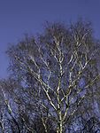 Birch tree in winter, Betula sp.