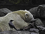 Carrion Crow and Polar Bear, Ursus maritimus, Corvus corone