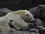 Aaskrähe beobachtet fressenden Eisbären, Ursus marimus, Corvus corone