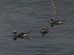 Long-tailed Duck males, Clangula hyemalis