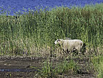 sheep in reed