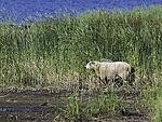 Schafe im Schilf