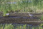 Grey Herons in Reed, Ardea cinerea, Phragmites sp.