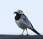 Pied Wagtail with inects, Motacilla alba