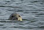 Grey Seal in water, Halichoerus grypus