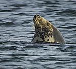 Grey Seal in water, Halichoerus grypus