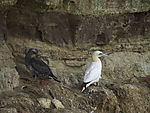 Northern Gannet with juvenile in autumn, Sula bassana