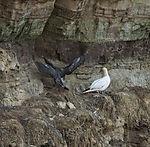 Basstölpel mit Jungvogel im Herbst, Sula bassana