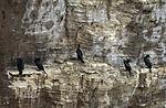 Cormorants on island Helgoland, Phalacrocorax carbo