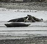 Grey Seals playing on beach, Halichoerus grypus