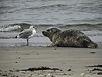 Harbour Seal and Herring Gull, Phoca vitulina, Larus argentatus