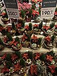 sale of Poinsettia in Tromso