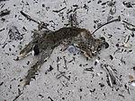 totes Kaninchen in Dünen von Helgoland