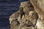 tote Baßtölpel im Vogelkliff, Morus bassanus