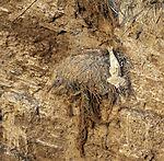 toter Baßtölpel im Vogelkliff, Morus bassanus
