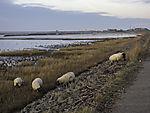 Schafe am Wattenmeer