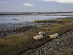 sheep at tidal sea