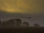 Geese morning in peat bog