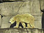 Eisbär mit Algen im Fell, Ursus maritimus