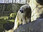 Polar Bear in zoo, Ursus maritimus