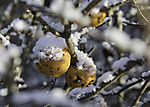 Quince in snow, Cydonia oblonga