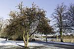 wilder Apfelbaum im Winter