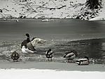 waterfowl on icefree spot