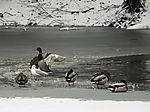 Wasservögel auf eisfreier Stelle
