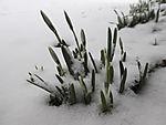 knospende Schneeglöckchen im Schnee, Galanthus nivalis