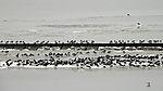 Oystercatcher resting in tidal sea; Haematopus ostralegus